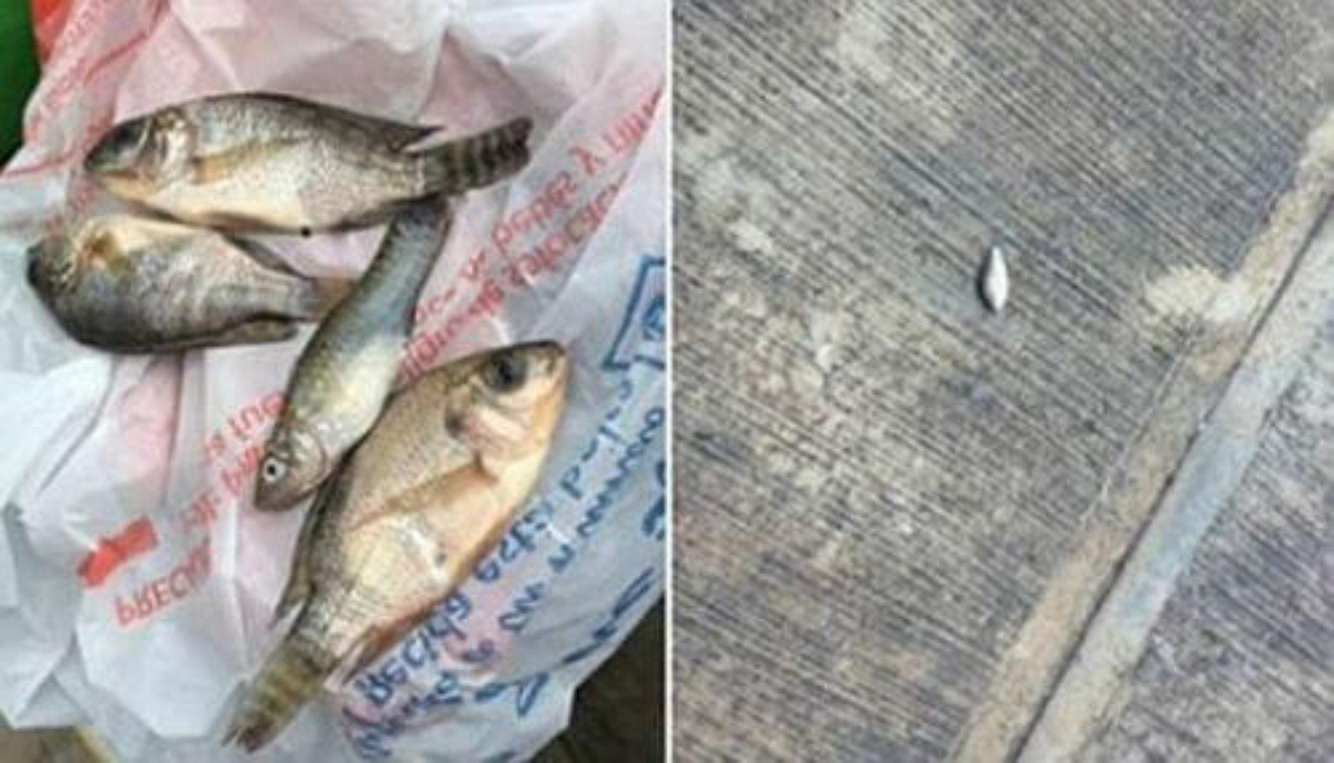 Llueven peces en Tampico ¡Insólito!